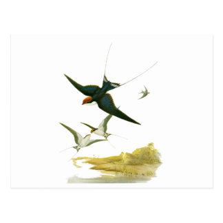 Binda-tailed svala vykort