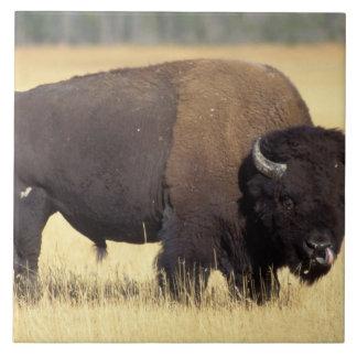 bison Bisonbison, tjur i den Yellowstone medborgar Kakelplatta