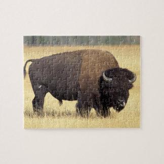 bison Bisonbison, tjur i den Yellowstone medborgar Pussel