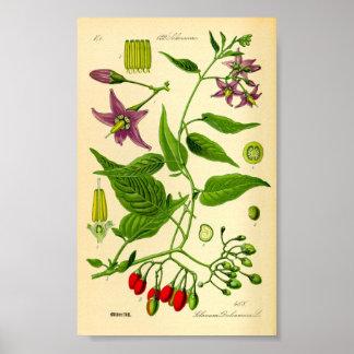 Bittersöt Nightshade (Solanumdulcamaraen) Poster