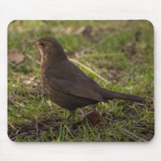 Blackbird Musmatta