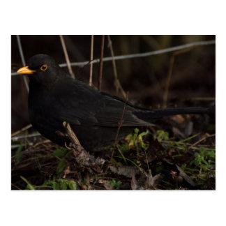 Blackbird Vykort