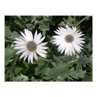Blåögda daisyblommor fototryck