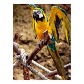 Blått- och gultMacaw Vykort