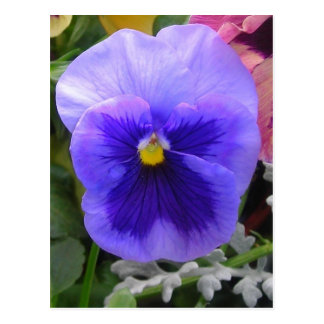 Blått/purpurfärgad pansy vykort