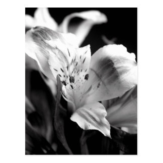 Blek lilja i monokrom vykort