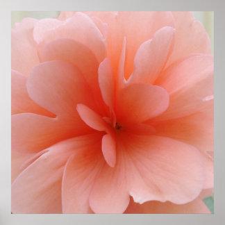 Blek - rosa Begoniatryck Poster