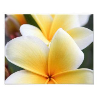 Blom- design för gul PlumeriablommaFrangipani Fototryck