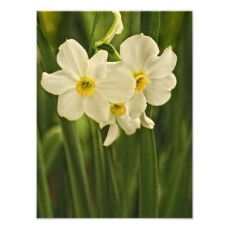 Blom- fotografi:  Vitvårpingstlilja Fototryck