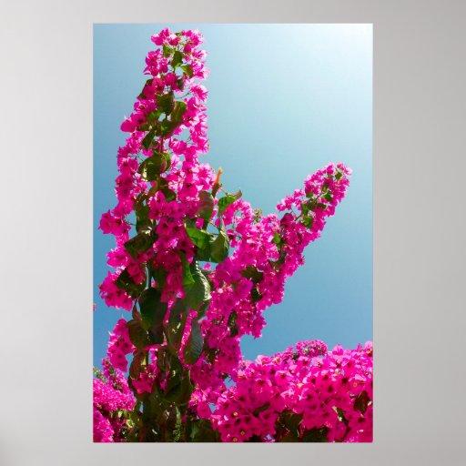 Blomma bougainvillea affischer