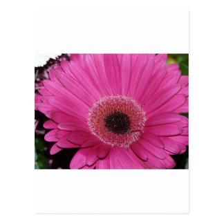 blomma rosa gerberdaisy vykort