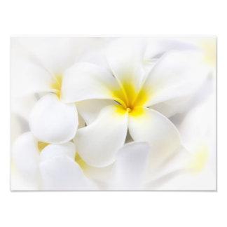Blommor för blommigt för Frangipani för vitPlumeri Fototryck