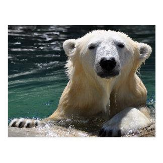 Blöt polar björn vykort