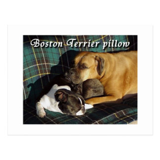 Boston Terrier:  Den Boston terrieren kudder Vykort