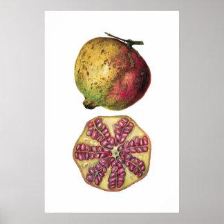 Botanisk affisch för POMEGRANATEfrukt Poster