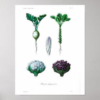 Botanisk affisch för vintage - blomkål