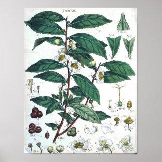 Botanisk affisch för vintage - grön Tea