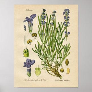 Botanisk affisch för vintage - lavendel