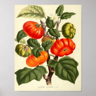 Botanisk affisch för vintage - tomat
