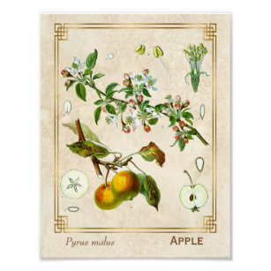 b17ab75c7824 Botanisk blommigt för vintageillustrationApple Poster