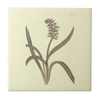 Botanisk illustration för Muskdruvahyacint Kakelplatta