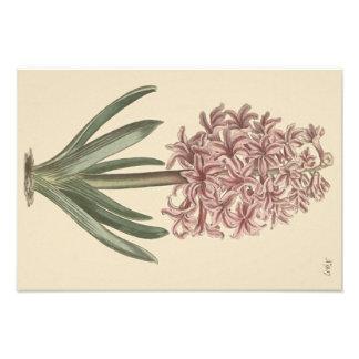 Botanisk illustration för trädgårds- hyacint fototryck