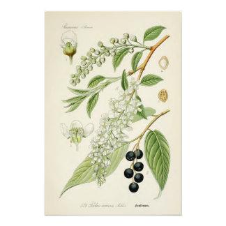 Botanisk illustration för vintage fototryck