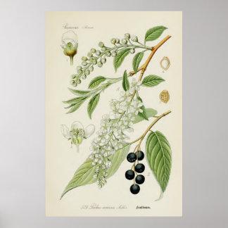 Botanisk illustration för vintage poster