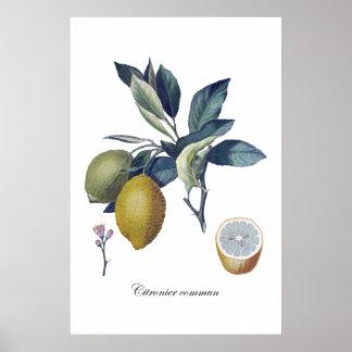 Botanisk vintage affisch för CITRONstudie