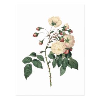 Botanisk vit ros vykort