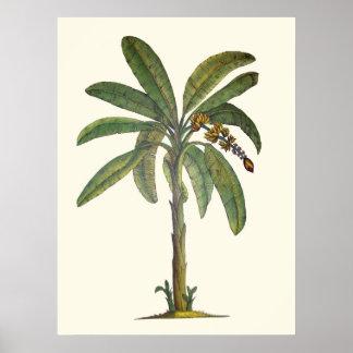 Botaniskt bananträd poster