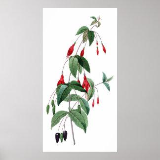 Botaniskt HÖGVÄRDIGT KVALITETS- tryck av fuchsiaen Poster