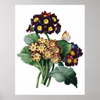 Botaniskt HÖGVÄRDIGT KVALITETS- tryck av primulaen Poster
