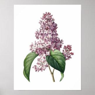 Botaniskt tryck av det LILA original vid Redoute