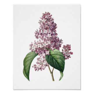 Botaniskt tryck av det LILA original vid Redoute Poster