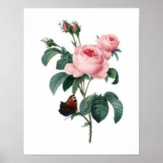 Botaniskt tryck av RO som är original- vid Redoute