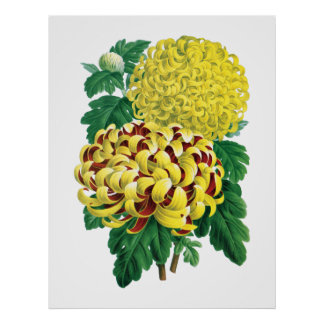 Botaniskt tryck för Chrysanthemum