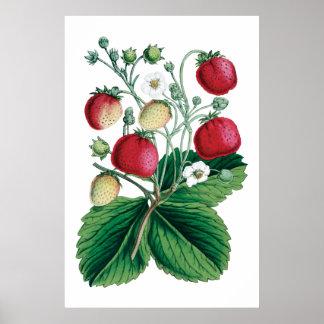 Botaniskt tryck för JORDGUBBAR