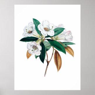 Botaniskt tryck för Rhododendron