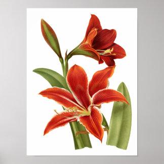 Botaniskt tryck för röd Amaryllis