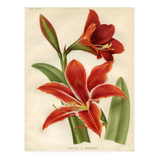 Botaniskt tryck för vintage - Amaryllis Vykort