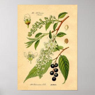 Botaniskt tryck - hägg (den Padus aviumen) Poster