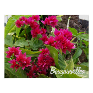 Bougainvilleaaffisch Posters