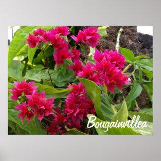 Bougainvilleaaffisch Poster