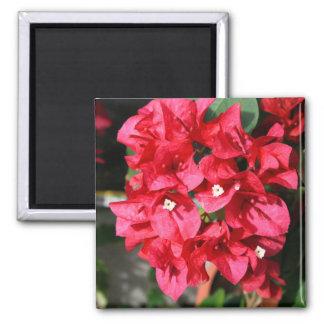 Bougainvilleaen blommar magneten