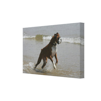 Boxarehund i vatten canvastryck