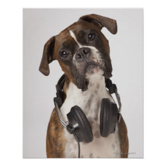 boxarehund med hörlurar poster