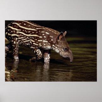 Brasiliansk Tapir, ung kalv bredvid floden Poster
