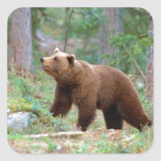Brun björn fyrkantigt klistermärke