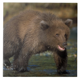 brun björn, Ursusarctos, grizzlybjörn, Ursus 6 Kakelplatta